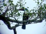050221 dddd White-throated toucan  Rio Grande.jpg
