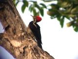 050221 iii Lineated woodpecker Rio Grande.jpg