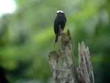 050221 iiii Long-tailed tyrant Rio Grande.jpg