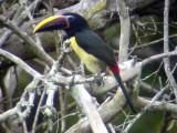 050221 ttt Green Aracari Rio Cuyuni.jpg