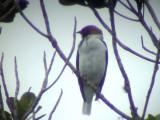 050222 f Bearded bellbird La Escalera.jpg