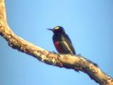 050222 u Yellow-tufted woodpecker km 88 Rd Las Claritas.jpg