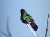 050223 g Peacock coquette La Escalera.jpg