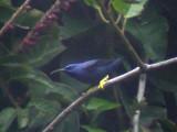 050223 kk Purple honeycreeper La Escalera.jpg