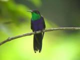 050223 nn Fork-tailed woodnymph Barquilla de Fresa.jpg
