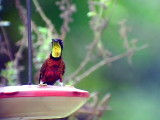 050223 ooo Crimson topaz Barquilla de Fresa.jpg