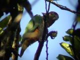 050223 yy Black-headed parrot Soptippsvägen Las Claritas.jpg