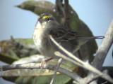 050224 ee Grassland sparrow La Gran Sabana.jpg