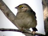 050224 f Grassland sparrow La Gran Sabana.jpg