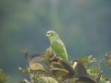 050224 ii Orange-winged parrot La Gran Sabana.jpg