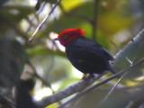 050224 ppp Scarlet-horned manakin La Escalera.jpg