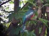 050225 f Black-tailed trogon Guyana trail.jpg