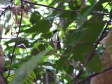 050225 ggg Black-eared fairy Guyana trail.jpg