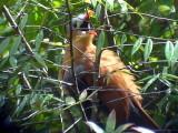 050225 hhh Black-bellied cuckoo Guyana trail.jpg