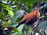 050225 iii Black-bellied cuckoo Guyana trail.jpg