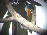 050225 m Channel-billed toucan Guyana trail.jpg