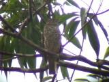 050225 nnn Purple-breasted cotinga Guyana trail.jpg