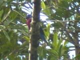 050225 s Purple-breasted cotinga Guyana trail.jpg