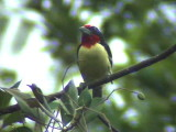050225 r Black-spotted barbet Guyana trail.jpg