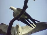 050226 dd Swallow-tailed kite La Escalera.jpg