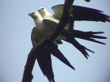 050226 f Swallow-tailed kite La Escalera.jpg
