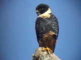 050226 kkk Bat falcon La Escalera.jpg