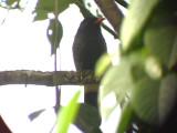 050226 xxx Black nunbird Barquilla de Fresa.jpg