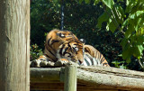 Tigers-6603-1.jpg