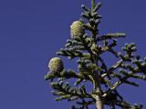 Sap  Mount Lassen National Park, California - September 2008