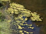 Algae Klamath River, California- September, 2008