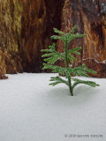 Ground-pine in the snow