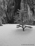 Ground-pine in the snow b&w