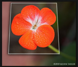 Geranium flower after a morning rain