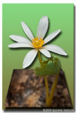 Bloodroot out of bounds