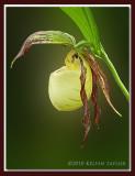 Cypripedium kentuckiense