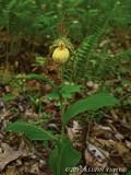 Cypripedium parviflorum - whole plant