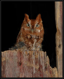 Eastern screech owl (captive)