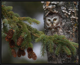 Northern Saw Whet Owl (captive)