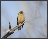 Evening grosbeak (female)
