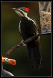 Pileated woodpecker (female) ©  Liz Stanley