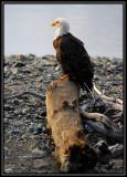 Bald eagle ©  Liz Stanley