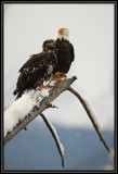 Bald eagles (adult and juvenile) ©  Liz Stanley