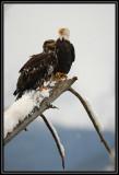 Bald eagles (adult and juvenile) ©  Liz Stanley