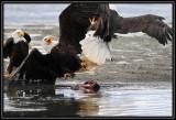 Bald eagles ©  Liz Stanley