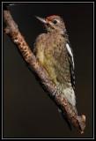 Yellow-bellied sapsucker (juvenile)