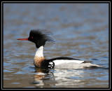 Red-breasted merganser ©  Liz Stanley