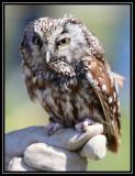 Boreal owl