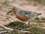 Red Knot 2344