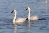 Tundra Swans 3530