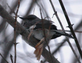 Northern Mockingbird - Dec 2009